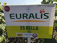Семена подсолнуха Евралис Белла
