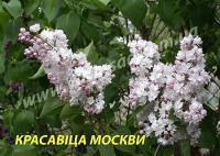 Саженцы сирени Красавица Москвы, 1 летние