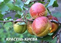Саженцы абрикоса Красень Киева