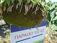 Семена подсолнечника Параизо 102 CL, Saaten Union