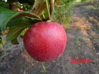 Саженцы яблони Эдэра