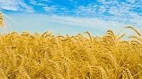 Семена озимой пшеницы Милтон, Seed Grain Company
