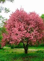 Саженцы яблони декоративной Недзвецкого