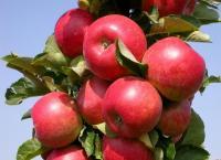 Саженцы яблони колоновидной Арбат