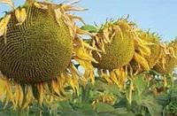 Семена подсолнечника ЕС Петуния, Euralis Semences