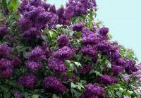 Сирень фиолетовая