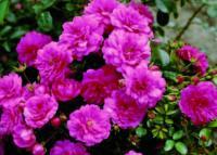 Роза Сублиме
