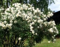 Роза Белый лебедь