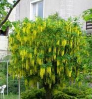 Саженцы бобовника Золотой дождь