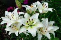 Луковицы лилии белой