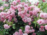 Саженцы розы плетистой вьющаяся