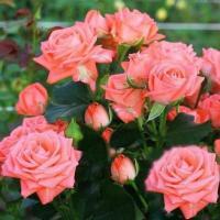 Саженцы розы бордюрной Барбадос
