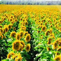 Семена подсолнечника Аракар под евролайтинг