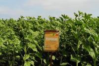 Семена подсолнечника РОНА (гранстарустойчивые)
