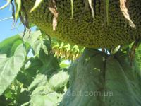 Семена подсолнечника ДАРИЛ, устойчив к шести расам заразихи A-F, Маисадур Семенсес, Стандарт / АСП
