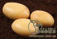 Картофель сорт Нектар 1 репродукция, 3 кг, сетка