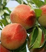 Саженцы персика Киевский