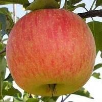 Саженцы яблони Целесте, летний сорт