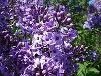 Саженцы сирени фиолетовой пестролистной