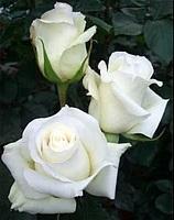 Саженцы розы бордюрной Анастасия