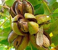 Саженцы ореха пекан Канза, однолетние