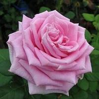 Саженцы розы чайно-гибридной Аква