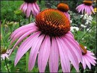 Ехінацея пурпурова, квітка. Эхинацея пурпурная.