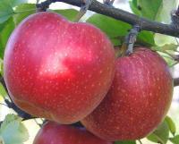 Карликовые (подвой М9), колоновидные и среднерослые (подвой ММ106) яблони