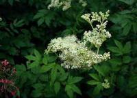Лабазник, цвет. Гадючник в'язолистий, цвіт.