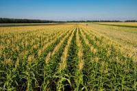 Семена кукурузы Оржица, Моника 350, Хотин, Хортица