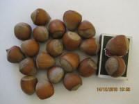 Саженцы фундука Олрбзжими из Хале