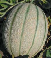 Семена дыни Ортолани