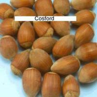 Саженцы фундука Косфорд