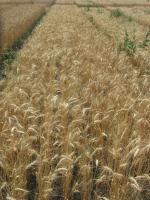 Семена пшеницы  озимой - сорт Конка, Элита