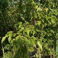 Саженцы клена Гиннала Acer Ginnala, 170 см