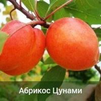 Саженцы абрикоса Цунами