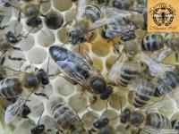 Чистопородні бджоломатки карпатської породи