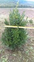 Саженцы самшита вечнозеленого Buxus Sempervirens, 40 см