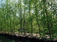 Саженцы граба обыкновенного Carpinus Betulus, 50 см