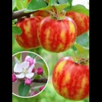 Саджанці Ексклюзивної яблуні Карнавал (двуколірний дует) Предзаказ на март!