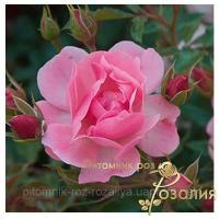 Саженцы роз (Mirato (Мирато)