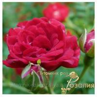 Саженцы роз Red Cascade (Ред Каскад)