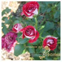 Саженцы роз Ruby Star (Руби Стар)
