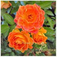 Саженцы роз Bessy (Бесси)