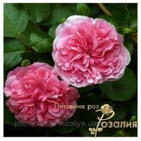 Саженцы роз Les Quatre Saisons (Ле Катр Сэзон или Четыре сезона)