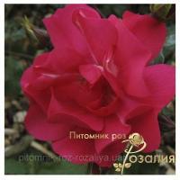 Саженцы роз Sommerabend (Зоммерабенд)