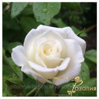 Саженцы роз Aspirin Rose (Аспирин Розе)