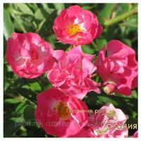 Саженцы роз Gaby Cover (Габи Ковер)
