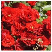 Саженцы роз Scarlet Meillandecor (Скарлет Мейландекор)