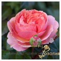 Саженцы роз Chippendale (Чиппендэйл)